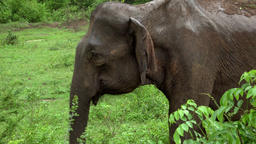 Big Asian elephant walking trough natural landscape in Udawalawe, Sri Lanka Footage