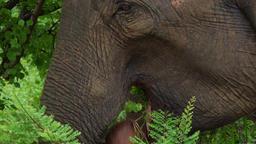Asian elephants enjoying fresh grass in Udawalawe National Park. Sri Lanka Footage