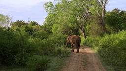 Asian elephant walking trough natural landscape. Udawalawe, Sri Lanka Footage