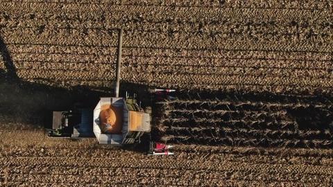 Combine Harvester Harvesting Ripe Corn on Harvest Field Live Action