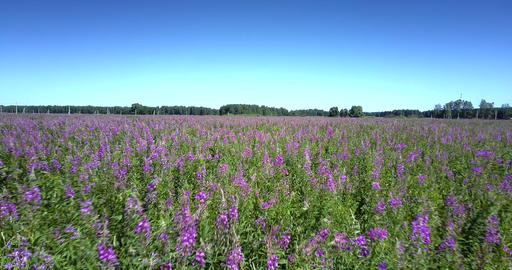 violet flower blossoms covering boundless commercial field Live Action