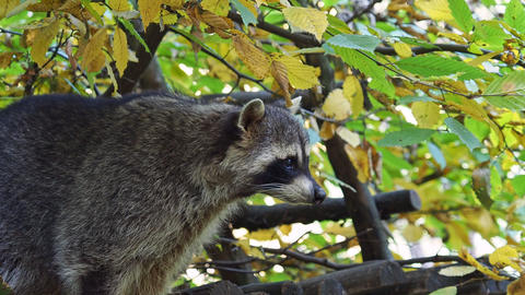 Raccoon (Procyon lotor) and autumn leaves in background. Also known as the North American raccoon Live Action