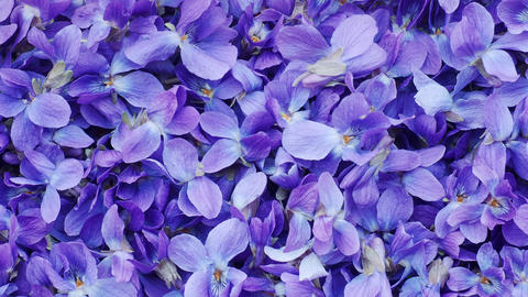 Flower Background - macro image of spring violet flowers Live Action