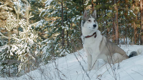 Dog sitting on snow in winter forest. Cute dog in snowy forest on coniferous Live Action