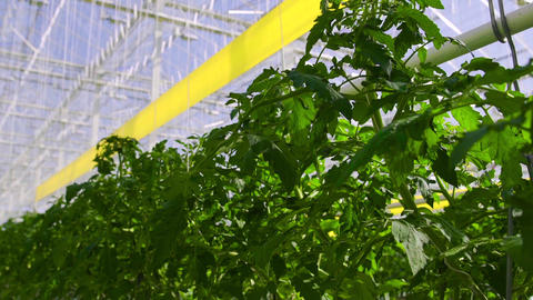 Tomato plants are in a big greenhouse, growing on a special equipment Live Action