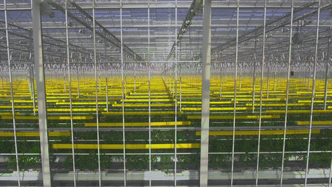 Green tomatoes plants growing in greenhouse, agriculture and farming concept Live Action