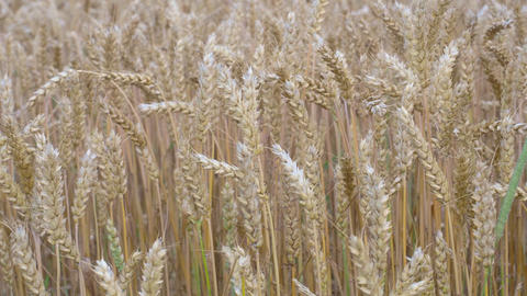 Wheat field. Golden ears of wheat on the field. Background of ripening ears of meadow wheat field. Live Action