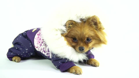 Spitz in a fashionable overall with a hood waiting for a walk in the fresh air Live Action