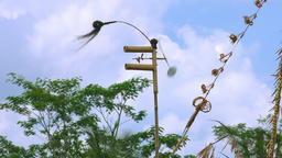 Penjor (house of spirits) on green rice field. Bali, Indonesia. With audio Footage