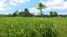 Green rice ears ripening on field near Balinese village. Bali, Indonesiia Footage