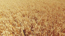 Flight over wheat spikes rye field. Harvest agriculture farm rural 4k video Footage