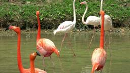Beautiful pink flamingos on pond Footage