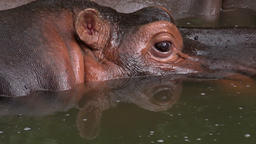 Close up hippopotamus enjoying diving in pond Footage