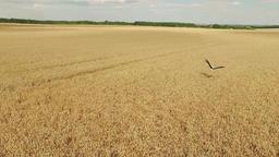 Stork in harvested wheat rye field. Harvest countryside rural bird 4k video Footage