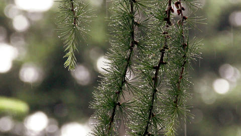 larch branch (Larix decidua polonica) Footage