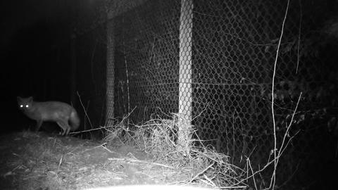 Fox (Vulpes vulpes) looks at the camera then disappears in the night 1080 video Live Action