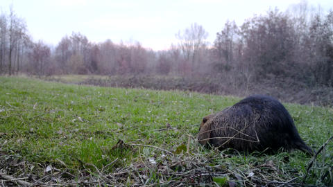 Coypu (Myocastor Coypus or Nutria) eats grass in a winter day. Wildlife Video Live Action