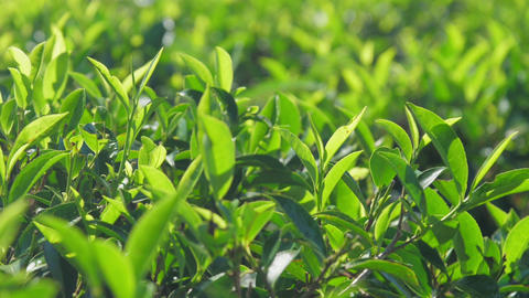 lush tea twigs with leaves extreme closeup slow motion Live Action