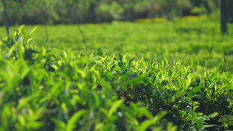 green tea plants grows on field at sunlight slow motion Live Action