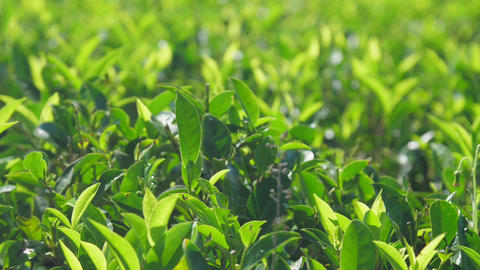 lush tea branches with leaves extreme closeup slow motion Live Action