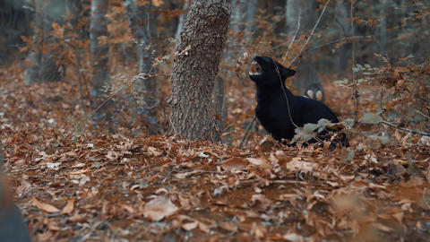 Black cat yawns while sitting in the autumn yellow forest Live Action