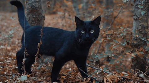 black cat walks through the woods and looks for something. A wild cat. The cat Live Action