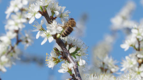 Honey bee collecting pollen from flowers. Spring nature. Bee collects nectar from the white flowers Live Action