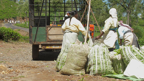 plantation workers weight green tea leaves bags slow Live Action