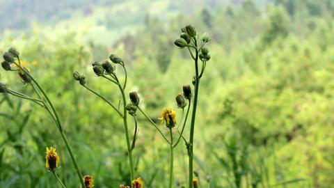 close-up hawkweed flowers (Нieracium vulgatum) Footage