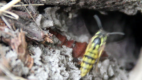 nest of wasp (Vespula vulgaris) Footage