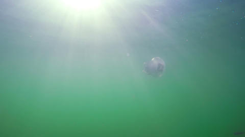 A Flock of Fry Near Jellyfish Against the Sun's Rays Footage