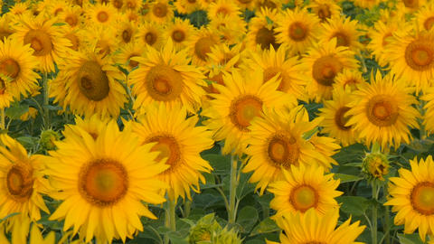 Sunflowers swaying in the light breeze on a sunny day Bild