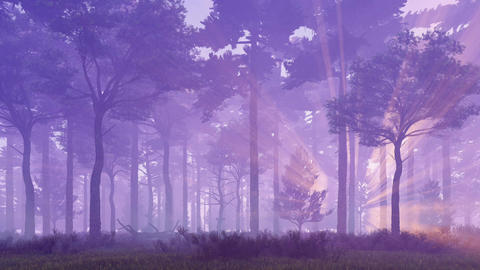 Sunset light rays in misty pine forest Footage