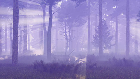 Foggy and magic pine forest at dawn or dusk Footage