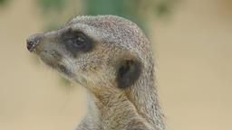Meerkat looking out Footage