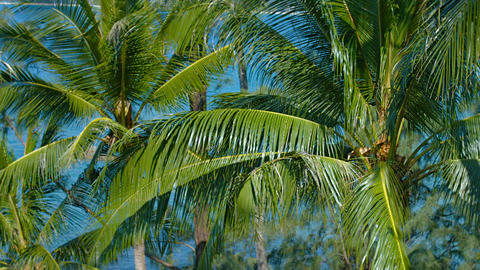Cluster of Palm Trees. Swaying in a Breeze in Thailand Footage