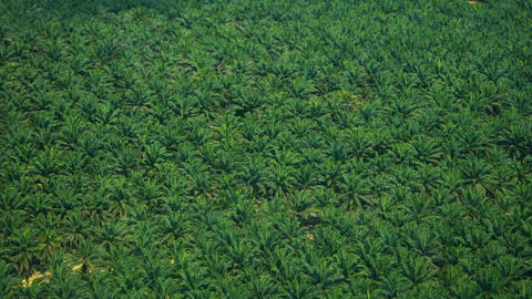 Elaeis guineensis palms - African oil palm or macaw-fat. Bird's-eye view Footage