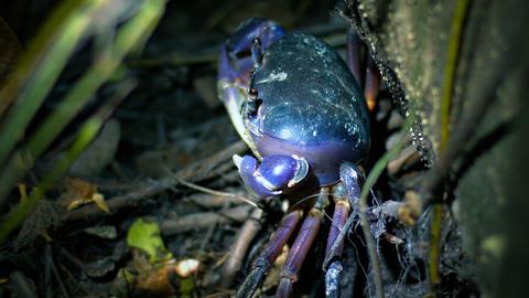 Specimen of Cardisoma Carnifex Crab. Hiding amongst the Folliage Footage