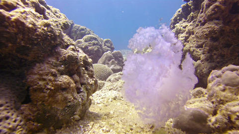 Underwater Shot of a Dead Jellyfish Tumbling amongst the Coral in Southern Thail Footage