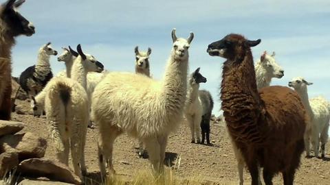 Llamas near the Salar de Uyuni, Bolivia Footage