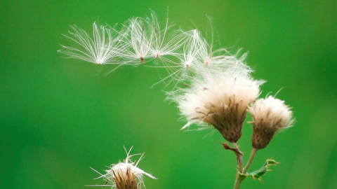 Slow Motion Seeds In The Wind Footage