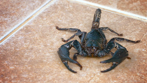 Giant Forest Scorpion Crawls Across a Tile Floor Footage