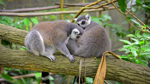 Pair of Ring-Tailed Lemurs Grooming Each Other at the Zoo Footage