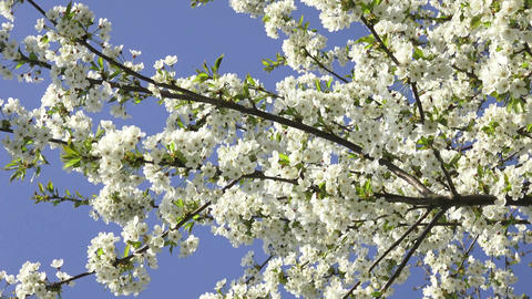 Cherry Blossoms on a blue sky. Spring floral background. Cherry flowers blossoming in the springtime Live Action