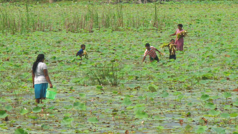 women with kids collect lotus roots for using in medicine Live Action