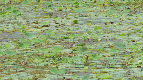 river water with lotus leaves bird takes off from surface Live Action