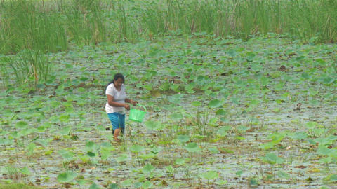 Sri Lankan woman walks in river delta and gathers lotus Live Action