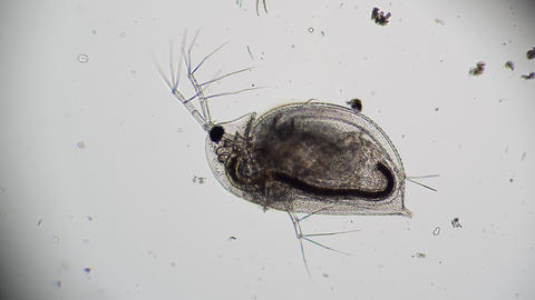 The transparent body of Daphnia with clearly visible organs Live Action