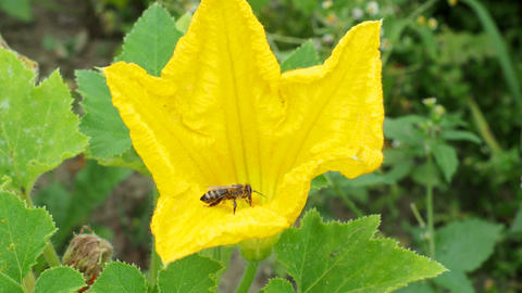 Flower of zucchini with bees. Pollination of flowers. Growing zucchini on a vegetable garden Live Action
