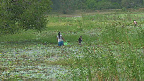 Sri Lankans walk in river delta and gather lotus roots Live Action